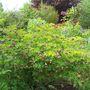 Lathyrus niger (Lathyrus niger (Black Pea))