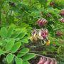 A Bee (Lathyrus niger (Black Pea))