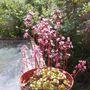 Saxifraga primuloides (Saxifraga primuloides)