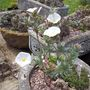 Convolvulus cneorum (Convolvulus cneorum (Silverbush))