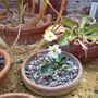 Ranunculus parnassifolius (Ranunculus parnassifolius)