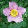 Anemone x hybrida 'Konigen Charlotte' (Anemone x hybrida)