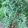 Athyrium niponicum var pictum (Athyrium niponicum var pictum)