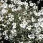 Cerastium_tomentosum