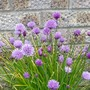 Chives in flower