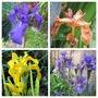 Water Loving Iris (Iris pseudocorus)