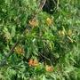 Embothrium lanceolatum 'Norquinco' - 2017 (Embothrium lanceolatum)