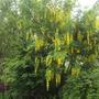 laburnum Tree   (Laburnum x watereri (Golden rain))