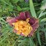 Tall Bearded Iris Frere De Messire (For my File) & Gnarly (Iris germanica (Orris))