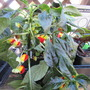 Parrot Impatiens. (Impatiens niamniamensis (Parrot Plant))