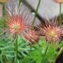 Pulsatilla Seed-Heads (Pulsatilla vulgaris (Pasque flower))