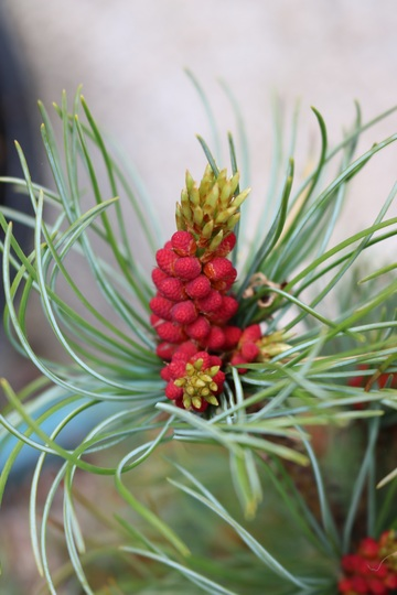 My little Blue Pine doing it's thing.