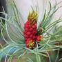 My little Blue Pine doing it's thing. (pinus parviflora)