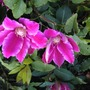 Vibrantly Pink  Clematis