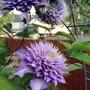 Deep Lilac Clematis