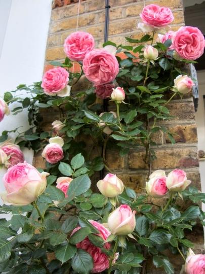 Rose 'Pierre De Ronsard' (Rosa multiflora (Rose))