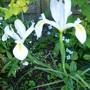 P1040345white_iris