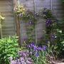 Clematis Haku Okan with blue iris
