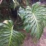 Monstera deliciosa - Split-leaf-Philodendron