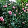 Climbing Rose - Souvenier Mme Verniott