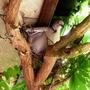 Dove nest building in the Wisteria