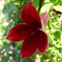 Clematis   Texensis Gravetye Beauty