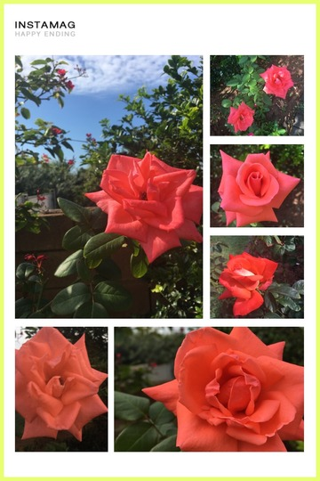Harmony my favorite rose