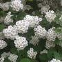 Spirea 'Bridal wreath' (spiraea x arguta)