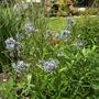 Amsonia tabernaemontana (Amsonia tabernaemontana (Blue dogbane))