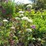 White Alliums (Allium)