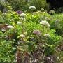 White Alliums 2 (Allium)