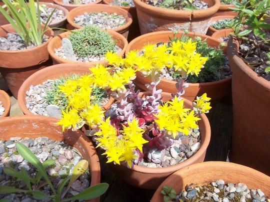 Sedum spathulifolium 'Cape Blanco' (Sedum spathulifolium (Stonecrop))