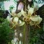 Lilium Albiflorum. (Lilium Alibiflorum.)