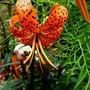 Lilium Lancifolium Splendens. (Lilium lancifolium.)