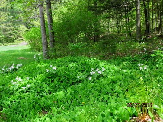 Lily of the Valley and White Trilliums