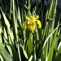 Iris pseudacorus (Iris pseudacorus)