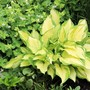Hosta Albopicta (Hosta fortunei (Plantain lily))