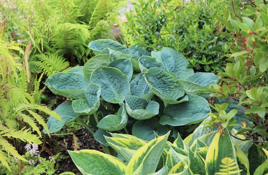 Hosta 'Big Daddy' (Hosta)