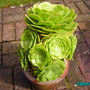 Aeonium Arboreum (Aeonium Arboreum)