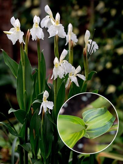 Roscoea cautleyoides white form (Roscoea cautleyoides (Roscoea))