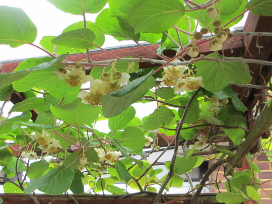 Kiwi Flowers  (Actinidia deliciosa (Kiwi fruit))