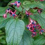 Clerodendrum_trichotomum