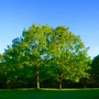 Twin Oak Trees