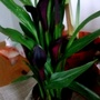 Zantedeschia_calla_lily_on_living_room_table_17th_may_2017