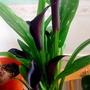 Zantedeschia 'Calla Lily' on living room table 20th May 2017 001 (Zantedeschia)