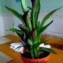 'Calla Lily' (Repotted) on living room table 25th May 2017 (Zantedeschia)