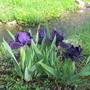 Iris unknown