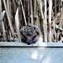Hedgehog babe, back to home safe and sound