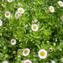 Erigeron_glaucus_sea_breeze._seaside_fleabane