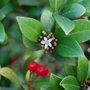 Ilex aquifolium (Ilex aquifolium)